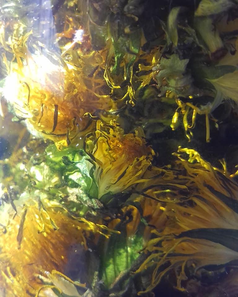 Make your own dandelion oil ~ The Retreat